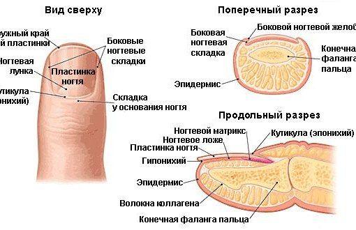 Особливості будови нігтів і нігтьової пластини